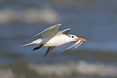 Royal Tern (Alan Gutsell) Tags: royaltern royal tern seabird coast white fihing texasbirds texas gulf usa shorebird wildlife nature alan bird camera canon