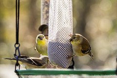 BackyardBirds_1-21-19-59 (RobBixbyPhotography) Tags: florida goldfinch jacksonville backyard birds