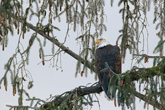 Local Eagle II (dennis_plank_nature_photography) Tags: avianphotography baldeagles rainbowranch birdphotography naturephotography eagles olympia wa avian birds nature