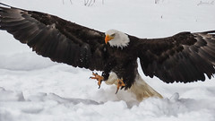 Bruce Bald Eagle CRC IMG_3303 (Jennz World) Tags: ©jennifermlivick canadianraptorconservancy vittoria ontario canada baldeagle eagle raptor bird winter snow