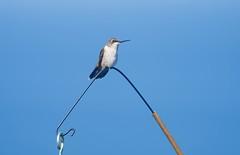 Female Hummingbird possing for us! (ineedathis, Everyday I get up, it's a great day!) Tags: hummingbird rubythroatedhummingbird archilochuscolubris bird avian female battinghallowhummingbirdsanctuary longisland newyork nikond750 nature summer blue sky feeding nectar