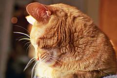 Zzzz (Jetcraftsofa) Tags: nikonf3 micronikkor5528 lomo400 35mm slr filmphotography availablelight bokeh cat neko snooze whiskers burl ginger orange sleeper zzzz fur
