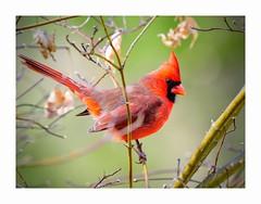 Harbinger of Spring (George McHenry Photography) Tags: birds cardinal northerncardinal southcarolina southcarolinabirds