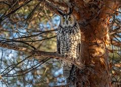 Hibou moyen duc / Long-eared Owl (Roy Yves) Tags: yvesroy hiboudesmarais technoparc d500 nikon montréal wildlife nature