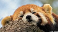 Prefers the Top Bunk (Robert Streithorst) Tags: cincinnatizoo lumix100400 redpanda robertstreithorst sleep treetop zoosofnorthamerica