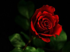 15 Shocking Facts About Red Flowers Wallpaper | red flowers wallpaper (franklin_randy) Tags: red flowers wallpaper download full hd images iphone tumblr wallpapers for desktop mobile