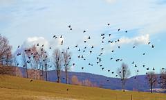 Unbekannte Zugvögel (Mariandl48) Tags: zugvögel vögel landschaft himmel sommersgut wenigzell steiermark austria