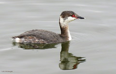 Horned Grebe (Lois McNaught) Tags: hornedgrebe bird avian lookslikeduck nature wildlife reflection burlington ontario canada