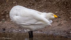 Whooper Swan. (Andrew Longhurst) Tags: birds meadows nature sudbury swans ngc