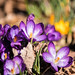 Kentucky Crocuses