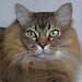Ziggy (pouncealot) Tags: cat catportrait pet petportrait mane tiffanie green tabbycat
