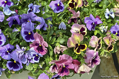 IMG_5516 (Roger Kiefer) Tags: dallas arboretum flowers outdoors beauty nature