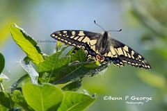 SWALLOWTAIL-BUTTERFLY-27-5-18-RSPB-STRUMPSHAW-FEN-(2) (Benn P George Photography) Tags: rspbstrumpshawfen 27518 bennpgeorgephotography rspb drinkermoth caterpillar goldenbloomgreylonghornbeetle beetle swallowtailbutterfly butterfly nature insects nikond7100 nikon d7100 nikon200500