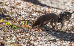 Attend ! Je cherche ! (Philippe Bélaz) Tags: nestor ooligan pragois ratierdeprague animal animaux animauxdecompagnie balades brun chiens chocolat forêts