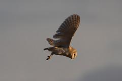 147A2399 (Tom Birtwhistle Photography) Tags: barn owl 2019