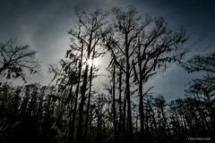 Backlit (Paul Malinowski) Tags: texas caddolake backlit trees misaalere misaaleremarchchallenge bayou cypresstrees