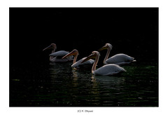 In order to see birds it is necessary to become a part of the silence... (V Dhyani) Tags: americanwhitepelicans whitepelicans pelicans water greenery trees swiming birds birdphotography newdelhi delhi india