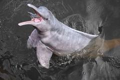 Boto ou dauphin rose d'Amazonie (pguiraud) Tags: boto botodecorderosa dauphin dauphinrose dauphindamazonie dauphindeaudouce sergeguiraud brésil brasil brazil amazonie amazone amazon amazonia amériquedusud mammifères mammifèresmarins mammifèresdamazonie