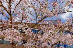 RAW_IMGP4414 (kirinoa) Tags: 横浜市 神奈川県 日本 jp 日ノ出町 黄金町 大岡川 桜