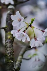 Vancouver 温哥華 (syue2k) Tags: british columbia 不列顛哥倫比亞省 canada vancouver 温哥華 sakura cherry blossom season 樱花季節