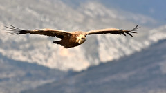 vautour fauve (frederic.laroche6) Tags: vautour gorge verdon alpes provence animalier oiseau bird nikon