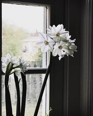 Different angle. #Takoma #dc #dclife #washingtondc #iphone #iPhonemacro #macro  #flower #flowersofinstagram (Kindle Girl) Tags: iphone takoma dc dclife washingtondc iphonemacro macro flower flowersofinstagram