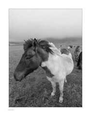 Icelandic Contrasts! (Michael Fleischer) Tags: iceland autumn south coast windy overcast horse grass field fog bw animal landscape blackwhite tamron 1530mm f28 vc