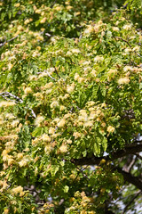 IMG_8440 (jaglazier) Tags: 121318 2018 chile december deciduoustrees easterisland ranokau trees copyright2018jamesaglazier floweringtrees mimosa valparaisoregion
