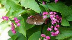 2019-02-11_12-38-39_ILCE-6500_DSC02772 (Miguel Discart (Photos Vrac)) Tags: 2019 75mm animal animalphotography animals animalsupclose animaux butterfly chiangmai e18135mmf3556oss fleurs flowers focallength75mm focallengthin35mmformat75mm holiday ilce6500 iso160 nature naturephotography papillon pet sony sonyilce6500 sonyilce6500e18135mmf3556oss thailand thailande travel vacances voyage