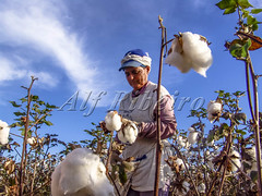 Alf 0002 - 0720 (Alf Ribeiro) Tags: agribusiness agriculture brazil brazilian cotton flower occupation rural work worker agricultural countryside crop cultivated farm farming farmland fiber field fluffy grow growing growth hand harvest harvesting industry job landscape natural nature neat new organic picking plant production profit rows scene scenery sky soft softness south southern textile white