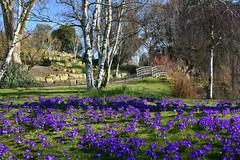 Spring in Regents Park HFF (Eleanor (No multiple invites please)) Tags: flowers crocus bridge fence regentspark london nikond7200 february2019