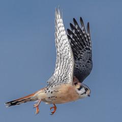 American Kestrel (Kevin E Fox) Tags: americankestrel kestrel falcon raptor bird birding birdwatching birdofprey birds sigma150600sport sigma nature nikond500 nikon pennsylvania peacevalley peacevalleypark
