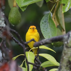 5D4_5416_DPP.Comp2048 (SF_HDV) Tags: canon5dmarkiv canon5dmark4 5dmarkiv 5dmark4 5dm4 puembo bird finch saffronfinch tree avocado avocadotree cloudforest ecuador pichinchaprovince