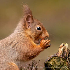 Red Squirrel (www.facebook.com/PaulSmithWildlife) Tags: wildlife nature scotland highlands cairngorms springwatch