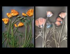 California poppies (julesnene) Tags: california flower juliasumangil kodak kodakpolymaxfineartpaper backyard flora julesnene lumen lumenart californiapoppies californiastateflower eschscholziacalifornica sunprint diptych alternativephotography withoutalens orange gardenerjulia
