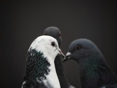 The meeting (Simply Sharon !) Tags: pigeons birds wildlife britishwildlife nature inthegarden gardenvisitors march