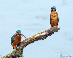 Kingfishers (Steve Moore-Vale) Tags: kingfisher foodpass fish male female lackfordlakes bird nature birds animals behaviour courting suffolk lackford alcedoatthis