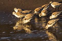 Plover. Gazos Creek State Beach, CA. (j1985w) Tags: beach ocean birds gazoscreekbeach california plover