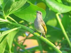 Lichmera indistincta indistincta 4 (ntfafl) Tags: charles brown botanical gardens darwin nt barry m ralley barrymralley