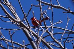 TIMG27936 (Timothy Harry David Gallant) Tags: pentaxks2 stratfordontario backyardphotography northerncardinal brightredbird beautifulbird
