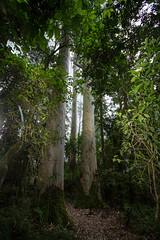 The Magoebaskloof Giants, Magoebaskloof, Limpopo, Dec 2018 (roelofvdb) Tags: 2019 date december limpopo magoebaskloof place plants salignaeucalyptus year scenery
