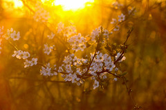 Flower (Péter Vida) Tags: scenery panorama sunset sonnenuntertag natural wesen flower blume tájkép naplemente természet virág photo photography canon eos100d pflanze vegetable springtime vorfrühling növény tavasz
