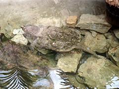 barcelona_3_731 (OurTravelPics.com) Tags: barcelona alligator snapping turtle terrarium zoo