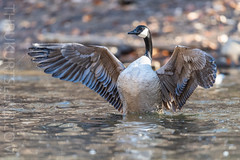 Shake it Off! (ThruKurtsLens.com) Tags: 2019 flying kurtwecker nature naturephotographer spring talons thrukurtslenscom wildlifephotographer wildlifephotography woodduck