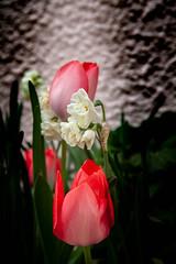 tulipes et jonquilles (patrick Thiaudiere, thanks for + 2.5 millions view) Tags: fleur flower red rouge blanc white garden garten jardin tulipe tulip vert green jonquille