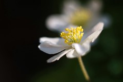 Anémone des bois      Helios 44-2  58mm  F 2.0 (情事針寸II) Tags: macrodreams ngc nature macro oldrussianlens bokeh flower fleur マクロ撮影 自然 花 ヤブイチゲ woodanemone anémonedesbois helios44258mmf20