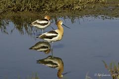 American Avocets (Bob Gunderson) Tags: americanavocet birds california northerncalifornia pier94saltmarsh recurvirostraamericana sanfrancisco shorebirds