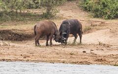 10b-buffalo-2999 (h.redpoll) Tags: kazingachannel africanbuffalo boatride queenelizabethnationalpark uganda