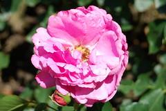 O du Mann voll Schmerzen (amras_de) Tags: rose rosen ruža rosa ruže rozo roos arrosa ruusut rós rózsa rože rozes rozen roser róza trandafir vrtnica rossläktet gül blüte blume flor cvijet kvet blomst flower floro õis lore kukka fleur bláth virág blóm fiore flos žiedas zieds bloem blome kwiat floare ciuri flouer cvet blomma çiçek