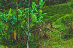 The Terrace Floor (Sound Quality) Tags: wwwmichaelwashingtonaecom bali baliindonesia balinese indonesia landscape wanderlust green tegallalang ubud canon canon50d banana terrace travel asia jungle travelphotography rain